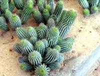 Hoodia Gordonii is a leafless and spiky succulent.